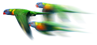 Christmas lorrikeets in flight